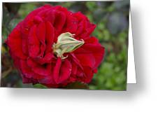 Rose With A Nose Greeting Card by Christine Burdine