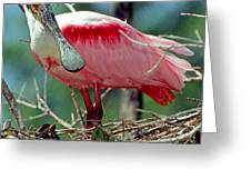 Roseate Spoonbill Adult In Breeding Greeting Card