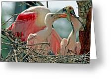 Roseate Spoonbill Feeding Young At Nest Greeting Card