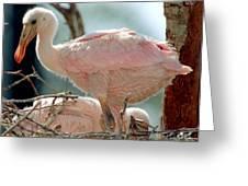 Roseate Spoonbill Nestlings Greeting Card