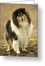 Rough Collie Dog Greeting Card