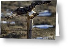 Rough-legged Hawk   #1865 Greeting Card