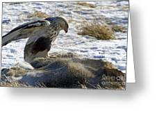 Rough-legged Hawk On A Mule Deer Kill Greeting Card