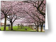 Rows Of Cherry Blossom Trees In Bloom Greeting Card