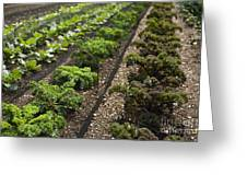 Rows Of Kale Greeting Card