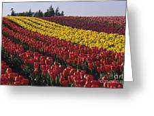 Rows Of Multicolored Tulips In Field Mount Vernon Washington Sta Greeting Card