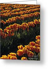 Rows Of Orange Tulips In Field Mount Vernon Washington State Usa Greeting Card