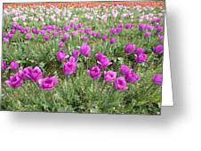 Rows Of Pink And Purple Tulip Flowers Greeting Card