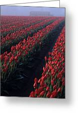 Rows Of Red Tulips Greeting Card