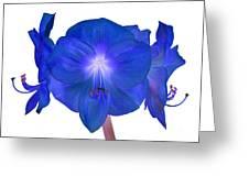 Royal Blue Amaryllis On White Greeting Card