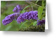 Royal Butterfly Bush Greeting Card
