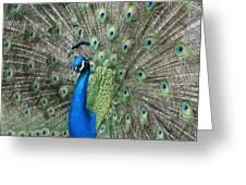 Royal Peacock Display Greeting Card
