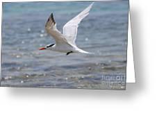 Royal Tern Flight Greeting Card