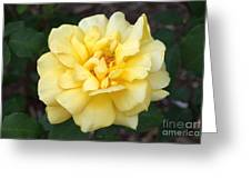 Royal Yellow Delight Rose... Greeting Card