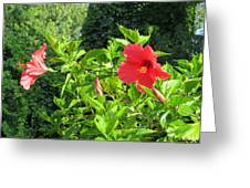 Ruby Red Hibiscus  Greeting Card