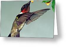 Ruby-throated Hummingbird Male At Flower Greeting Card