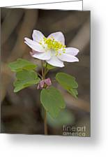 Rue Anemone Wildflower - Pink - Thalictrum Thalictroides Greeting Card