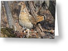 Ruffed Grouse On Mossy Log Greeting Card