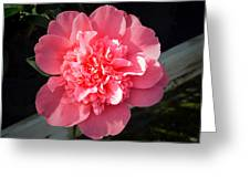 Ruffles In Pink. Greeting Card