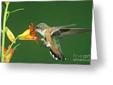 Rufous Hummingbird At Tiger Lily Greeting Card