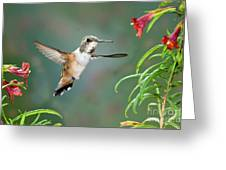 Rufous Hummingbird Female At Monkey Greeting Card