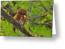Rufous Morph Costa Rican Pygmy-owl Greeting Card by Tony Beck
