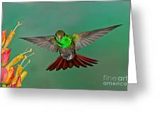 Rufous-tailed Hummer Greeting Card