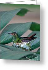 Rufous-tailed Hummingbird On Nest Greeting Card