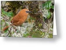 Rufous Wren Greeting Card