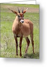 Sable Antelope Calf Greeting Card