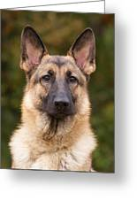 Sable German Shepherd Dog Greeting Card