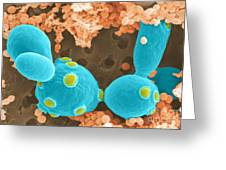 Saccharomyces Cerevisiae Sem Greeting Card by Scimat