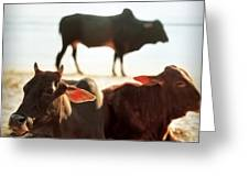 Sacred Cows On The Beach Greeting Card by Carol Whaley Addassi