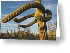 Saguaro Cacti Saguaro Np Arizona Greeting Card