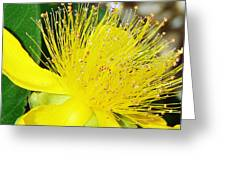 Saint Johns Wort  Greeting Card