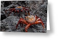 Sally Light Foot Crabs Galapagos Greeting Card
