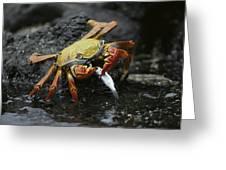 Sally Lightfoot Crab Feeing Galapagos Greeting Card