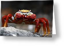 Sally Lightfoot Crab Galapagos Greeting Card
