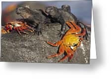 Sally Lightfoot Crabs And Marine Greeting Card