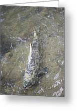 Salmon Spawning Greeting Card