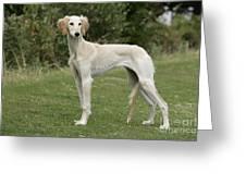 Saluki Dog Greeting Card