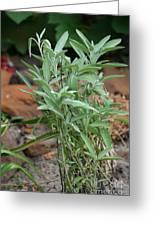 Salvia Officinalis Sage Greeting Card