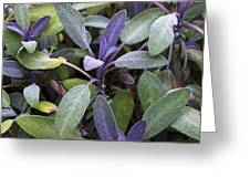 Salvia Officinalis Var. Purpurascens Greeting Card