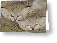Sand Cat Felis Margarita Greeting Card