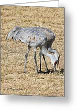 Sand Hill Cranes Eat Togeather Greeting Card