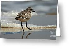 Sanderling Gulf Of Mexico Greeting Card