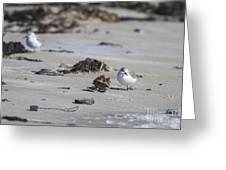 Sanderlings 2 Greeting Card