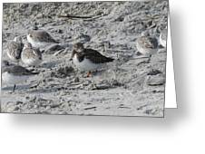 Sanderlings And A Ruddy Greeting Card