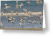 Sanderlings And Dunlins In Flight Greeting Card