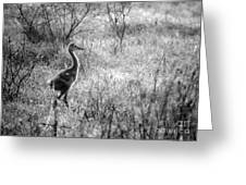 Sandhill Chick In The Marsh - Black And White Greeting Card